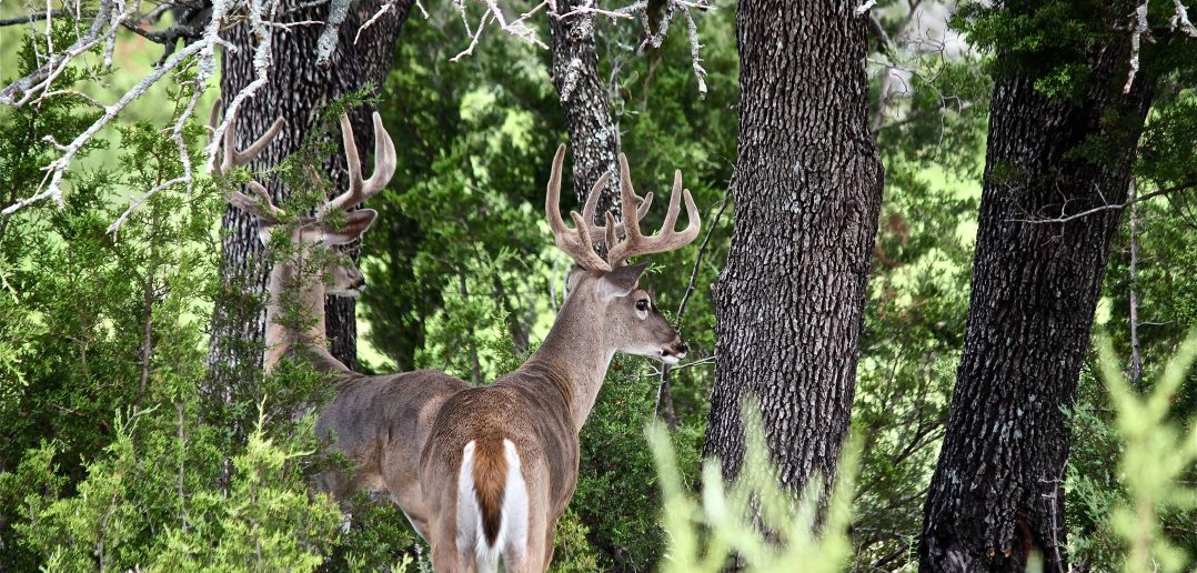 White tailed deer in forest